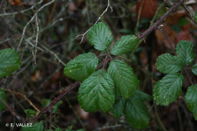 Rubus andegavensis