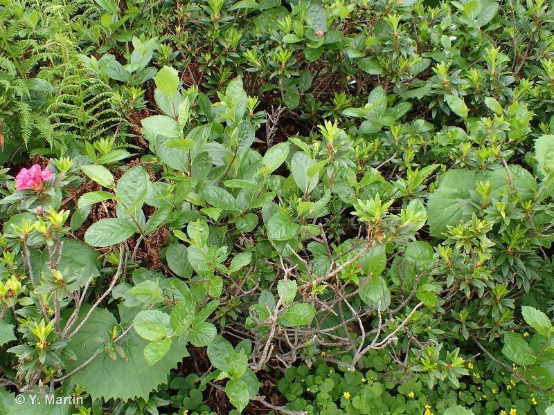 Sorbus chamaemespilus