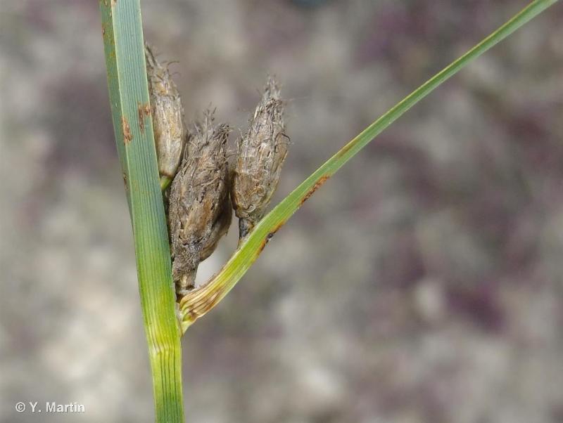 Bolboschoenus maritimus