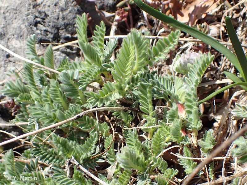 Anthyllis montana