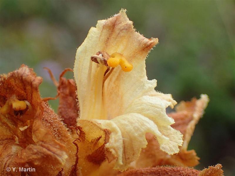 Orobanche laserpitii-sileris