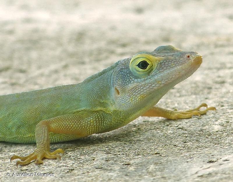 Ctenonotus ferreus