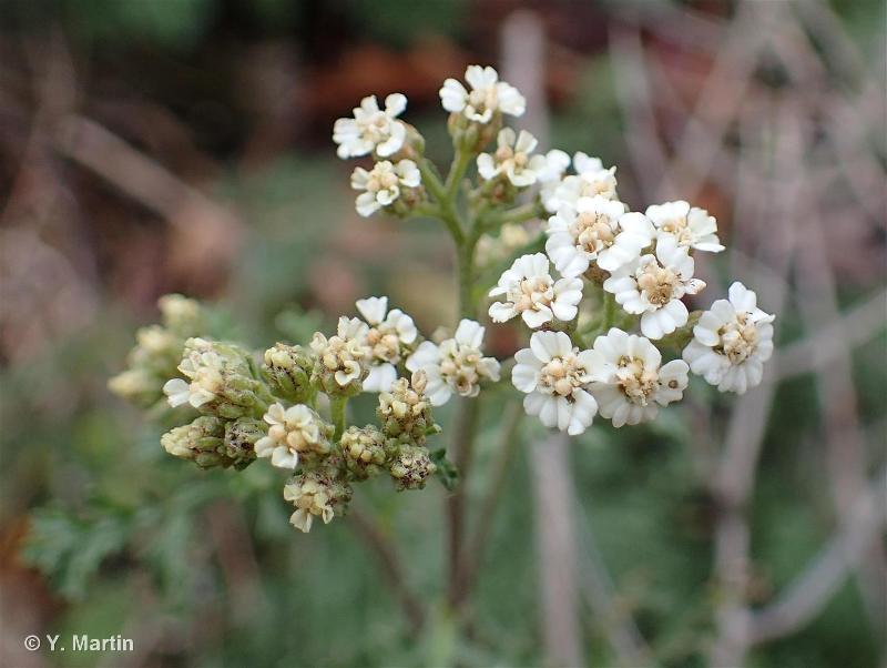 Achillea nobilis