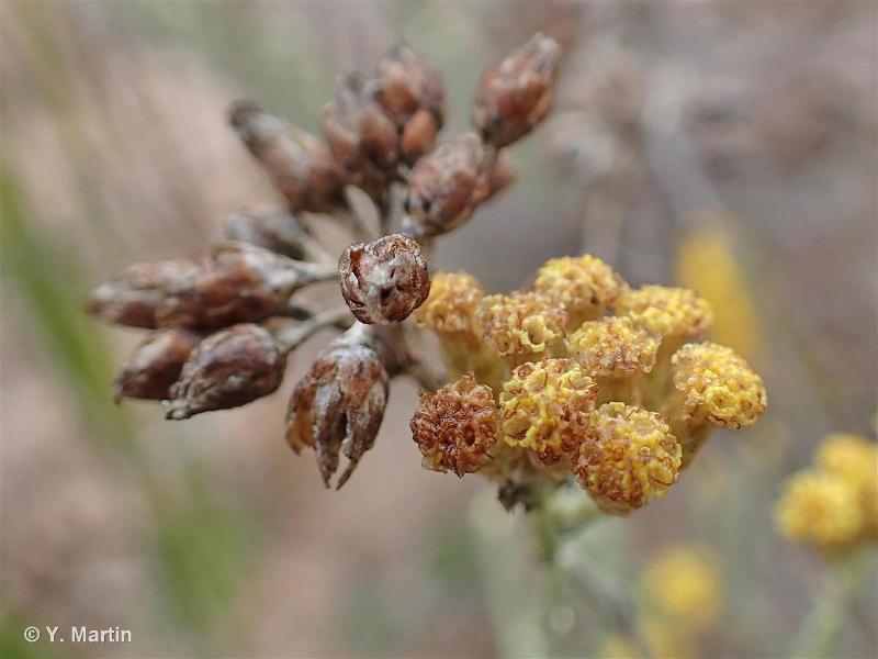 Helichrysum italicum subsp. microphyllum