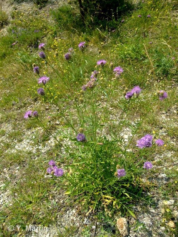 Centaurea scabiosa