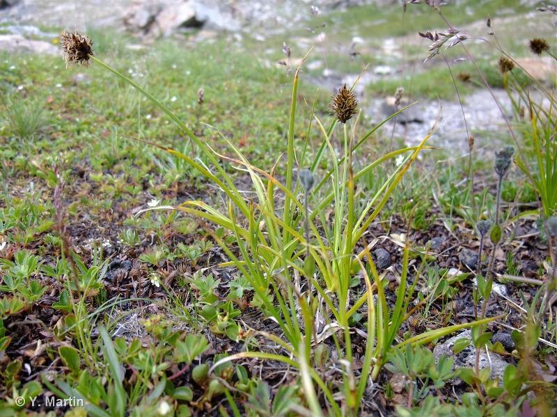 Carex foetida