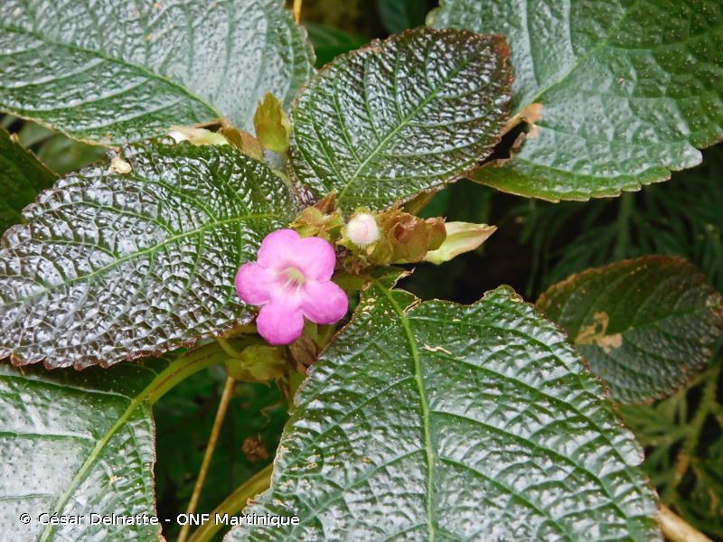 Chrysothemis melittifolia