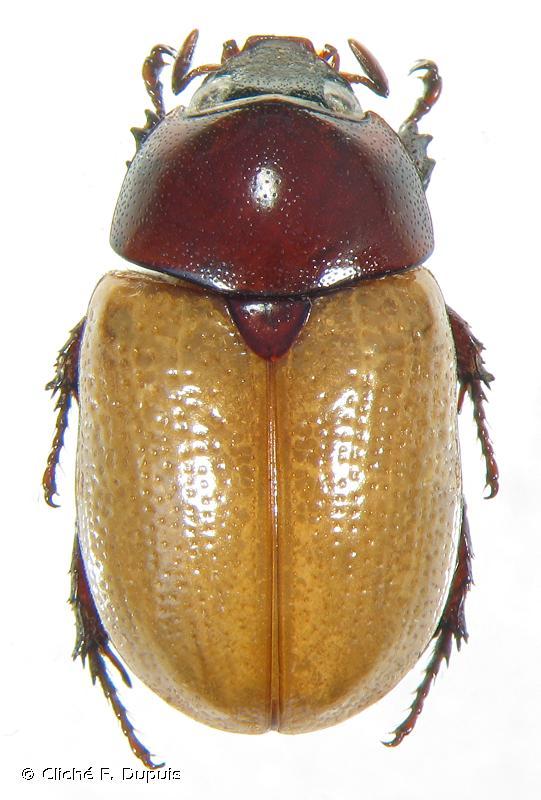 Cyclocephala bicolor