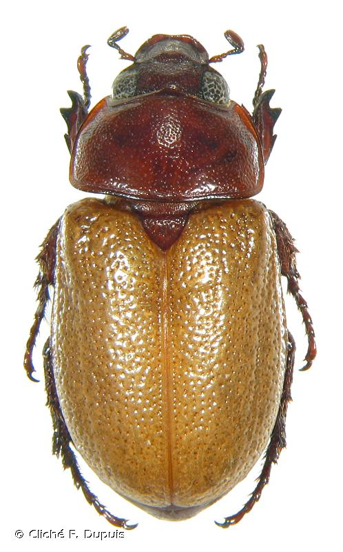 Cyclocephala perforata