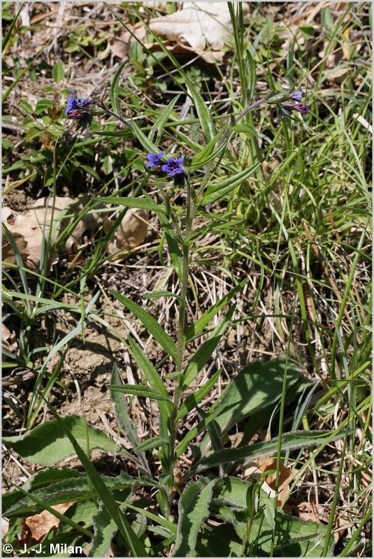 Buglossoides purpurocaerulea