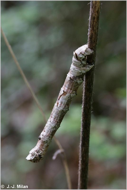 Crocallis elinguaria