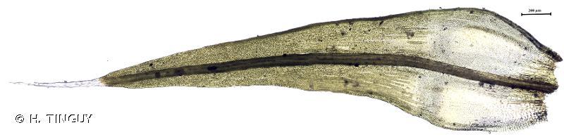 Grimmia elatior