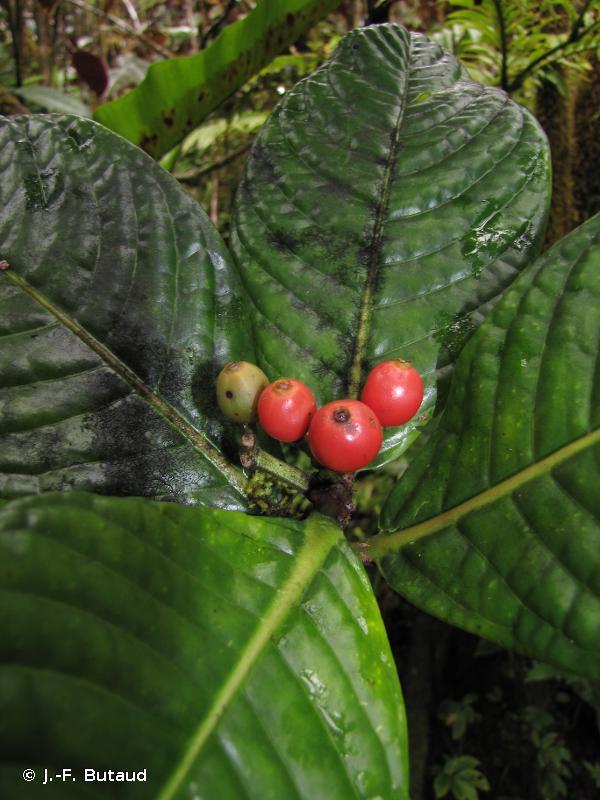 Psychotria franchetiana