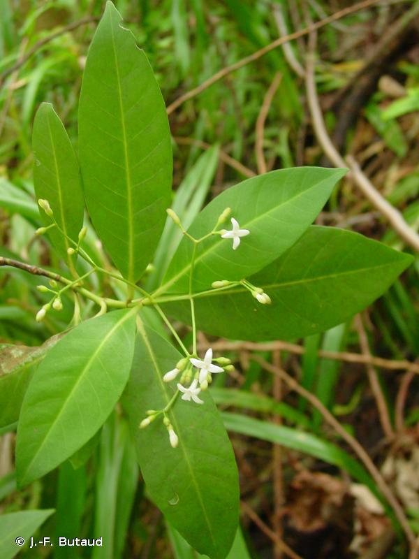 Psychotria raiateensis