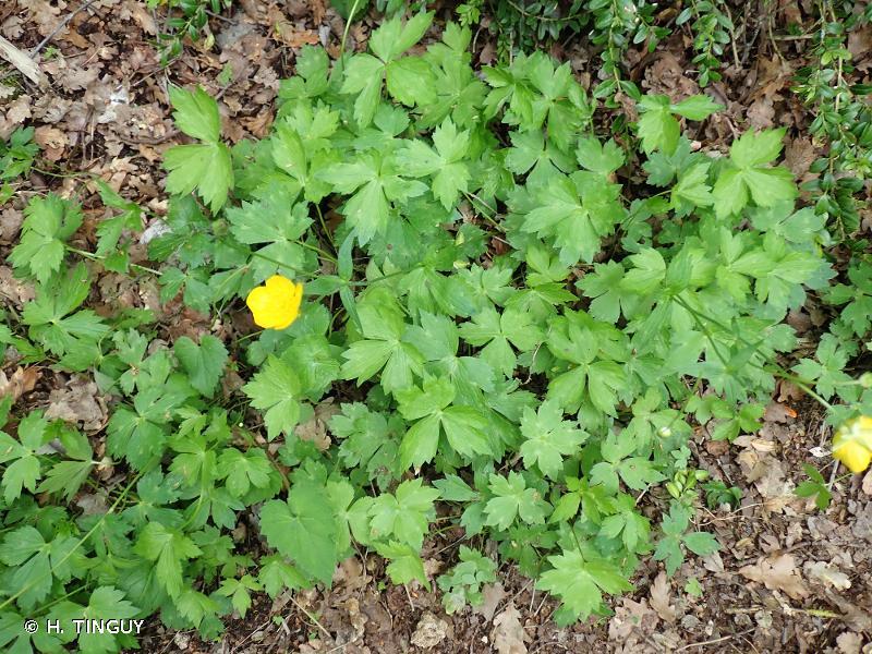 Ranunculus aduncus