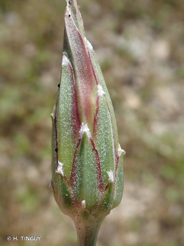Podospermum laciniatum