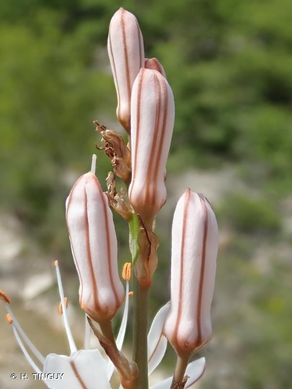 Asphodelus macrocarpus