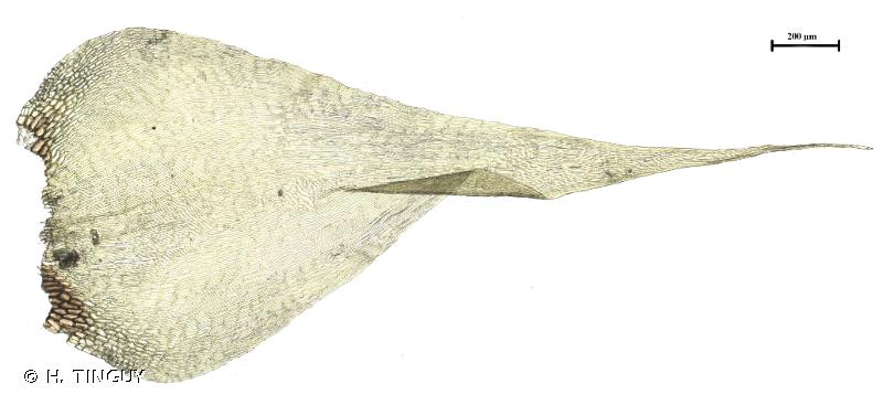 Campylium stellatum