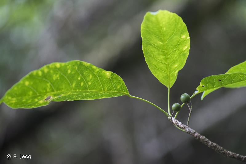 Elaeocarpus floridanus