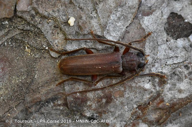 Arhopalus syriacus