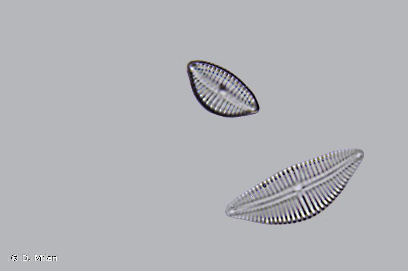 Cymbella neoleptoceros