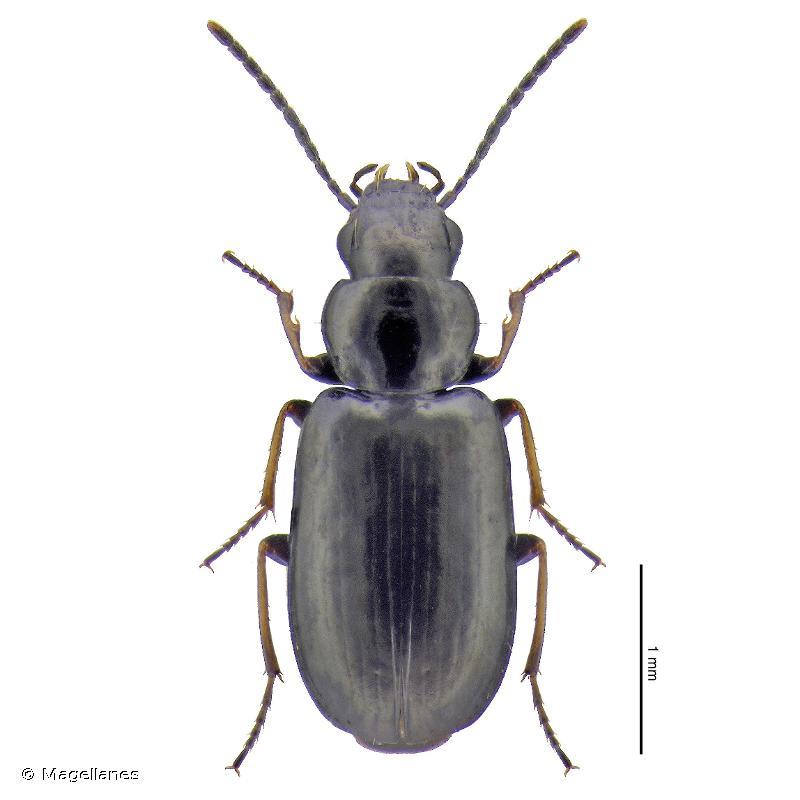 Amblystomus niger
