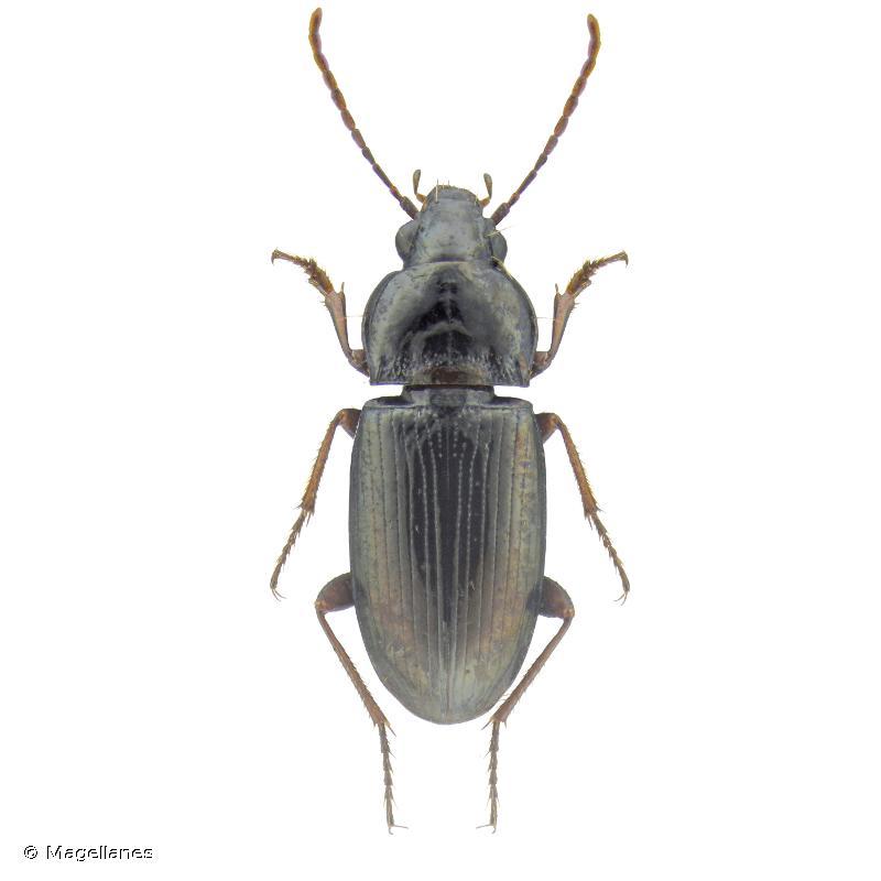 Pogonus meridionalis