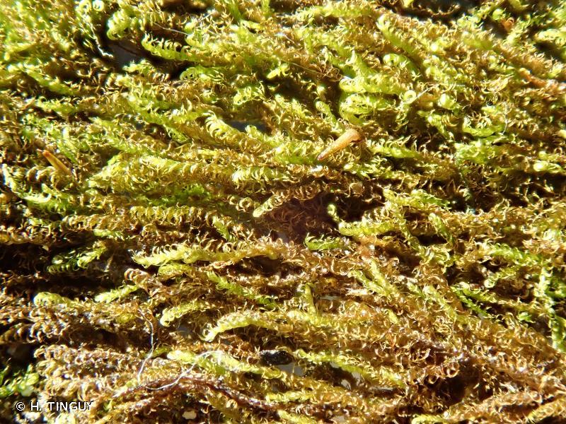 Microhypnum sauteri