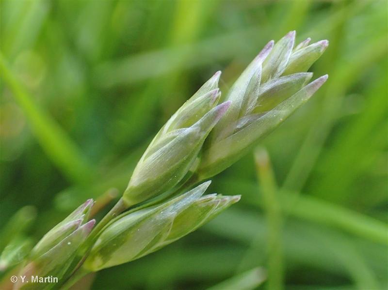 Danthonia decumbens subsp. decumbens