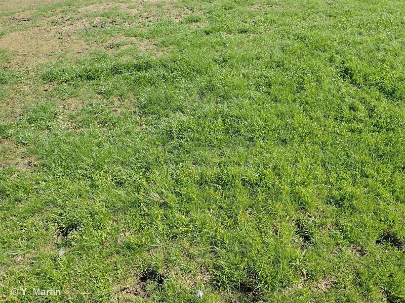 22.3232 - Gazons à petits Souchets - CORINE biotopes