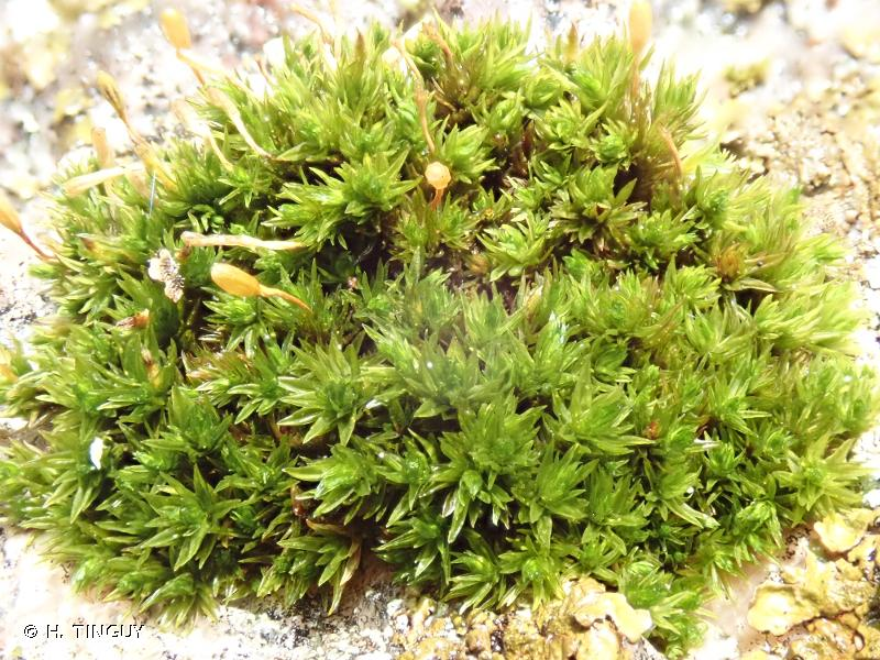 Ulota hutchinsiae