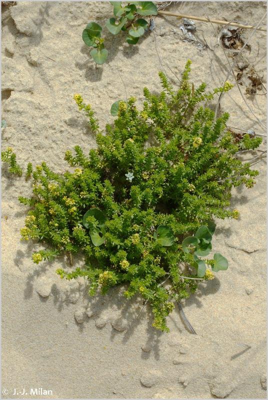 Galium arenarium