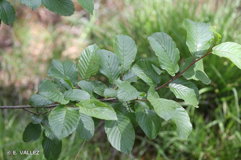 Rhamnus alpina
