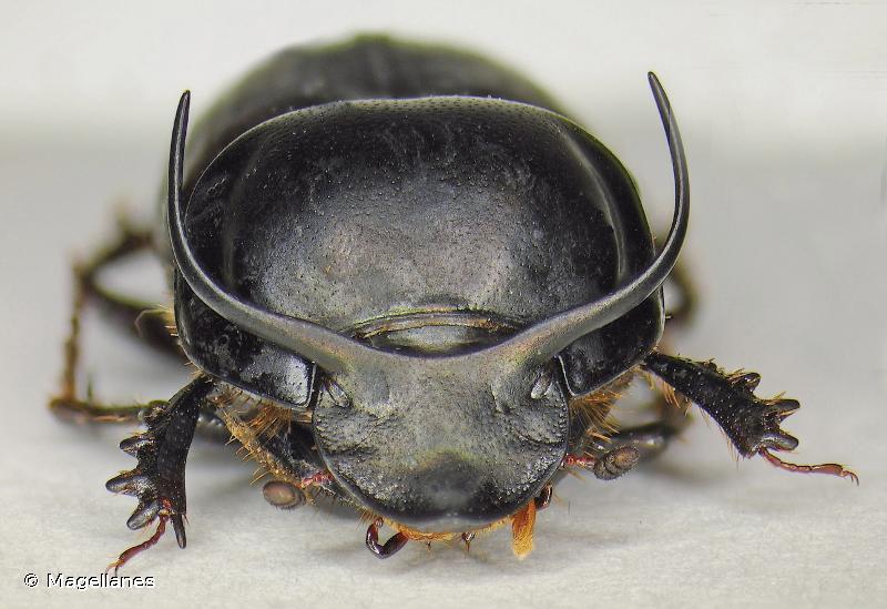 Onthophagus taurus