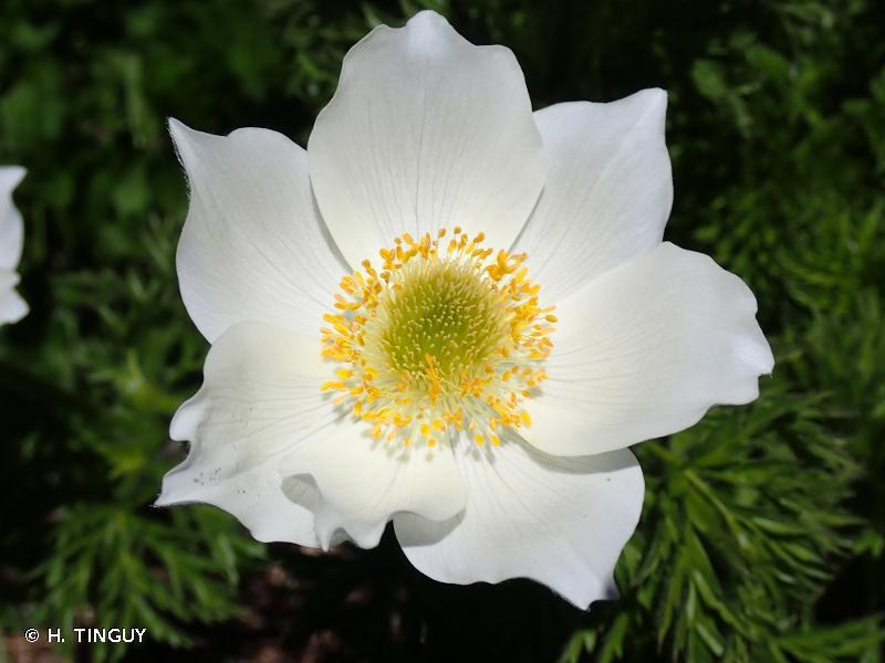 Anemone alpina subsp. alpina