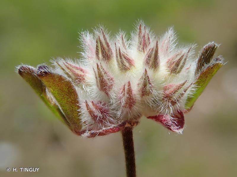 Trifolium saxatile