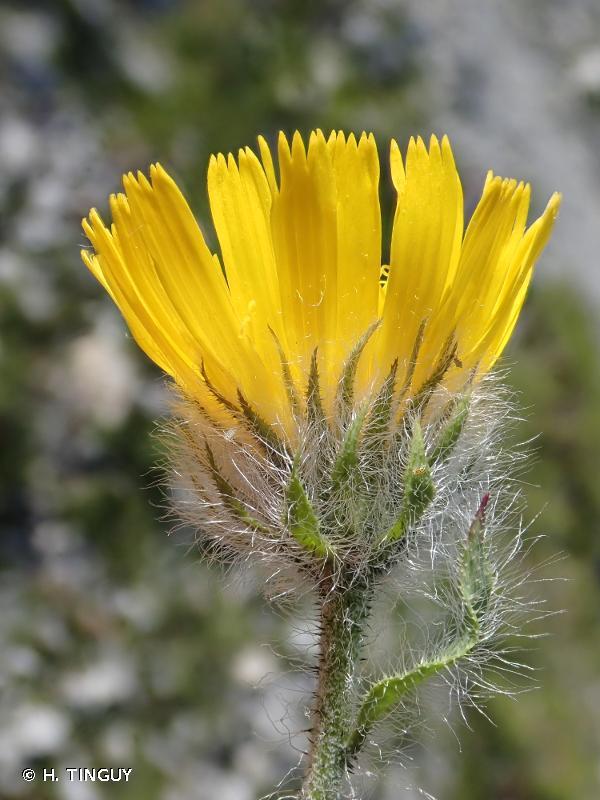 Hieracium piliferum