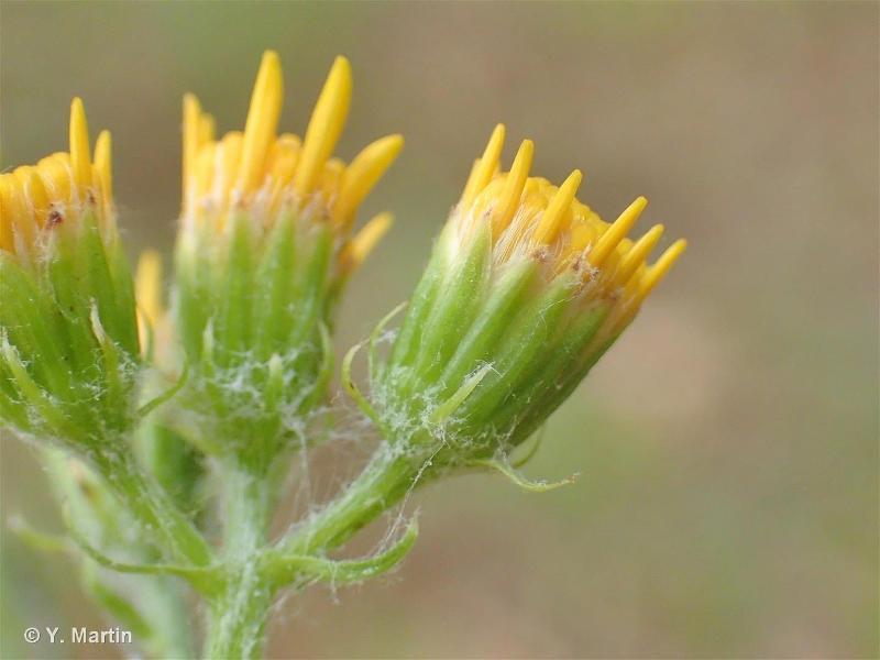 Jacobaea erucifolia