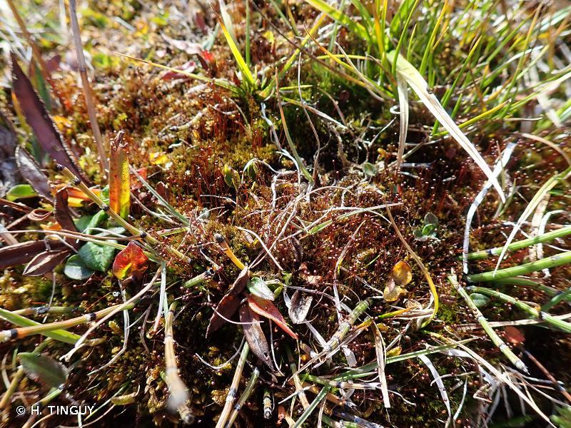 Catoscopium nigritum