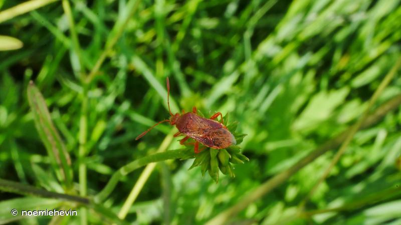 Rhopalus maculatus