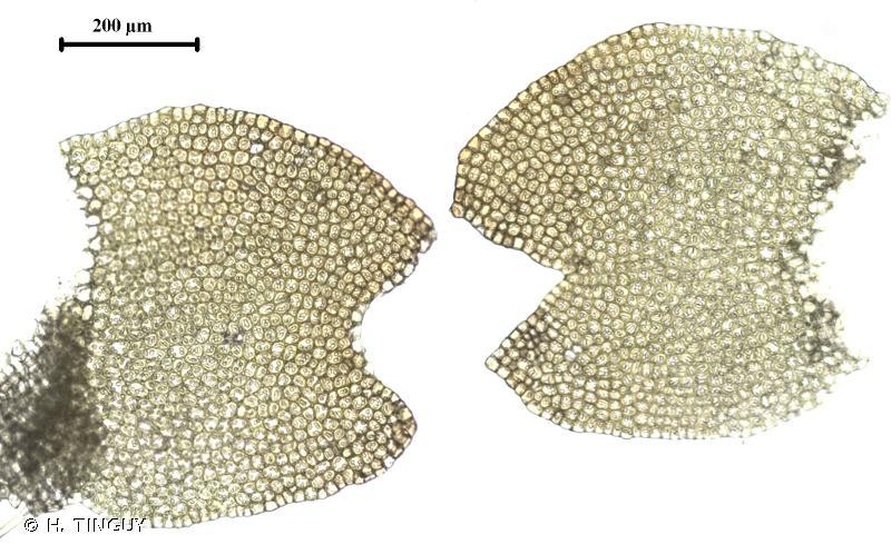 Mesoptychia heterocolpos