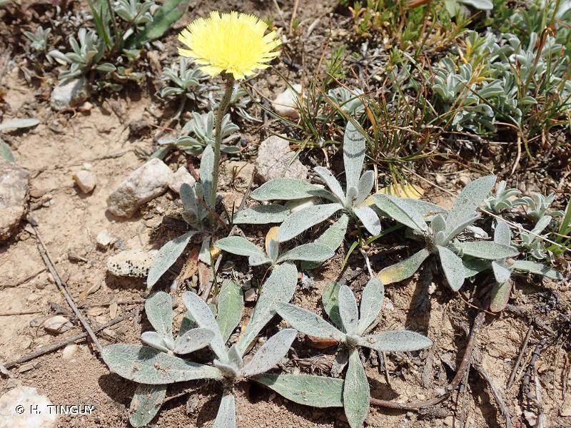 Pilosella officinarum