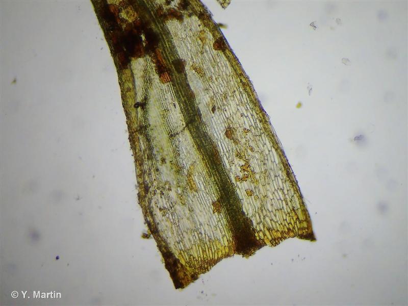 Bartramia pomiformis