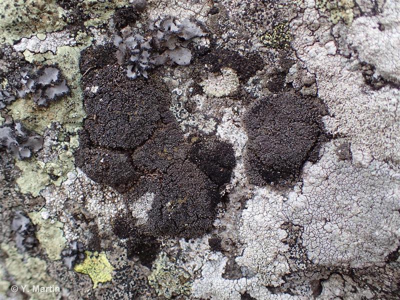 Gymnomitrion corallioides