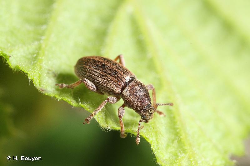 Polydrusus marginatus