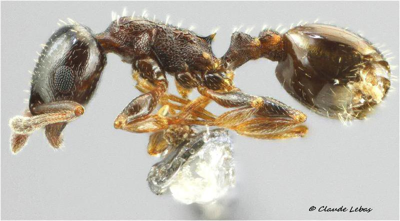 Temnothorax exilis