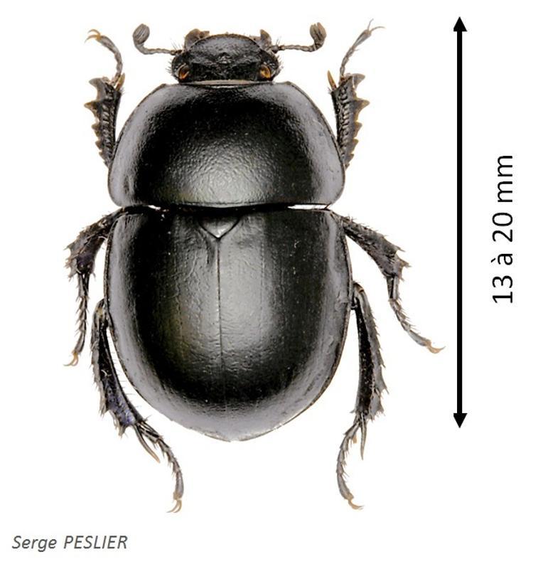 Thorectes albarracinus