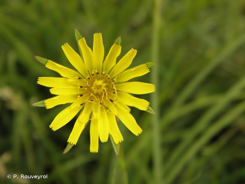Tragopogon pratensis subsp. pratensis