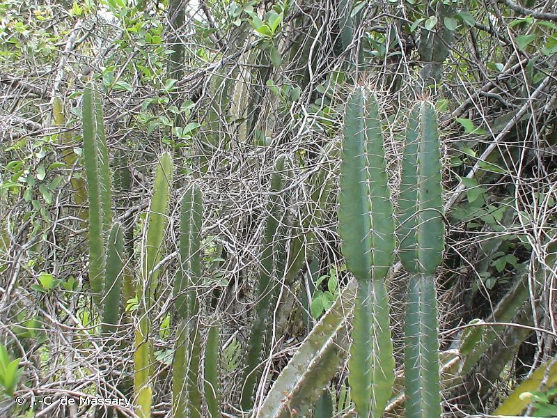 Cereus hexagonus