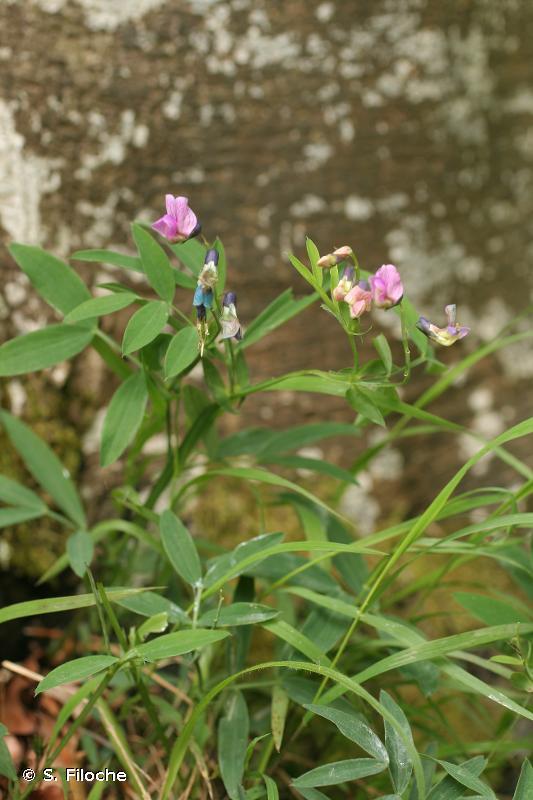 Lathyrus linifolius var. montanus